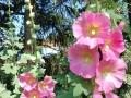 rosa Stockrose