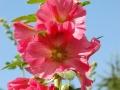 pinkfarbene Stockrose